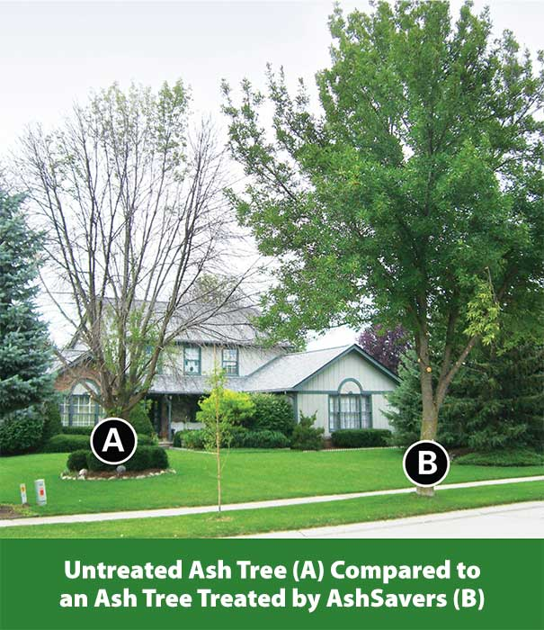 untreated vs treated ash tree